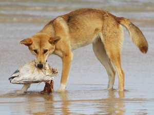 Fraser Island dingo myth busted