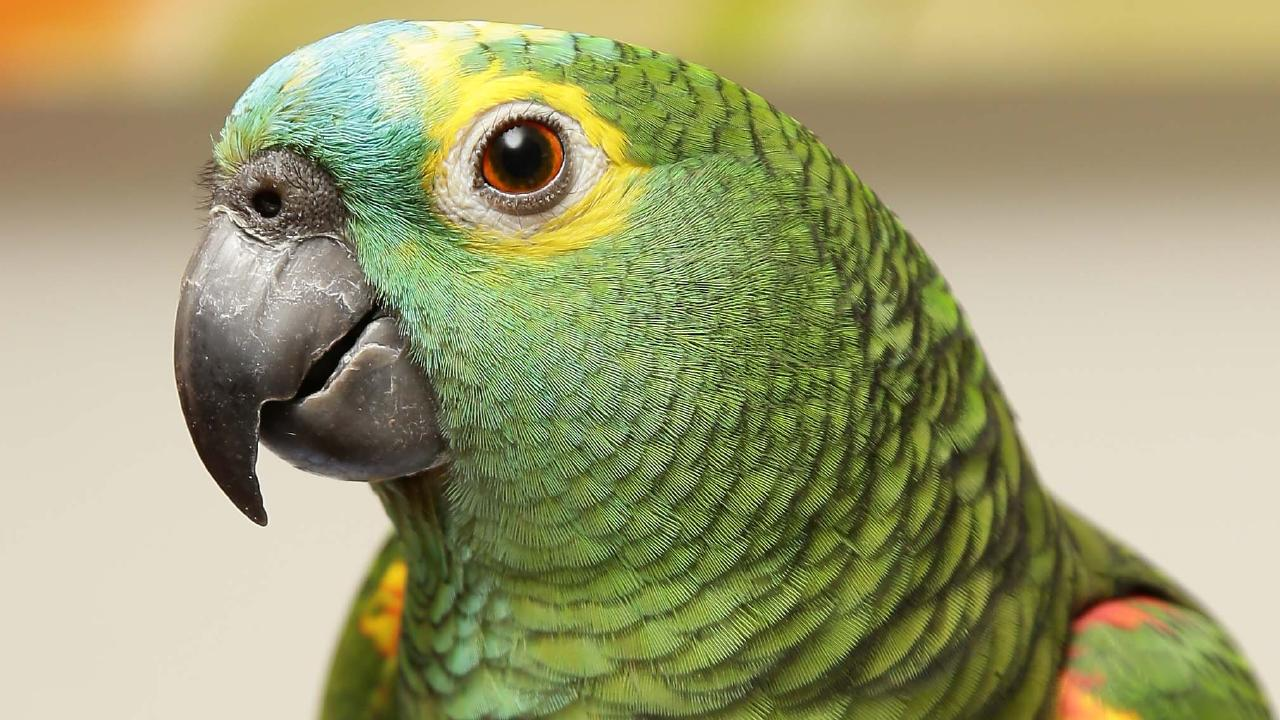 A Brazilian parrot tipped off its owner alerting them of a drug bust by police. Picture: Supplied