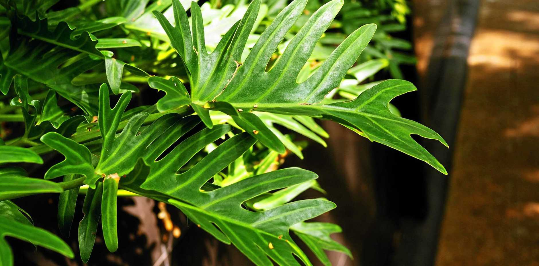 Philodendron xanadu forms a beautiful mound of deeply lobed, dark green leaves.
