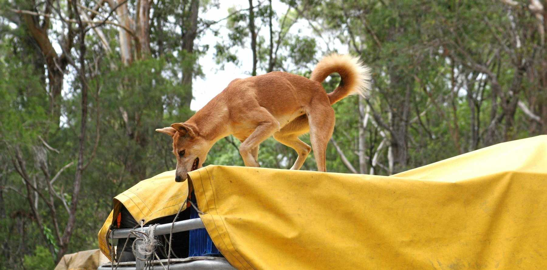 CHEEKY: A dingo caught stealing food from the roof rack of a mini bus. Tourists are warned to keep all food secure and out of reach of the dingo.