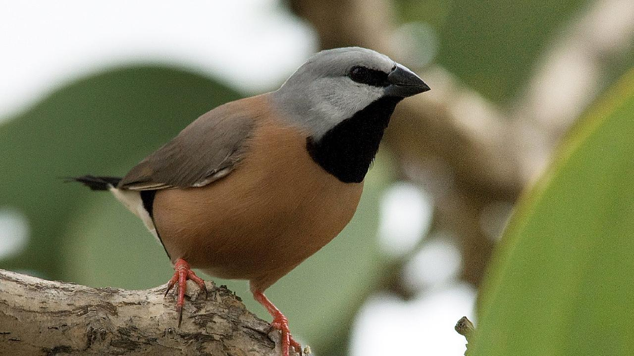 The southern black-throated finch is an endangered species.