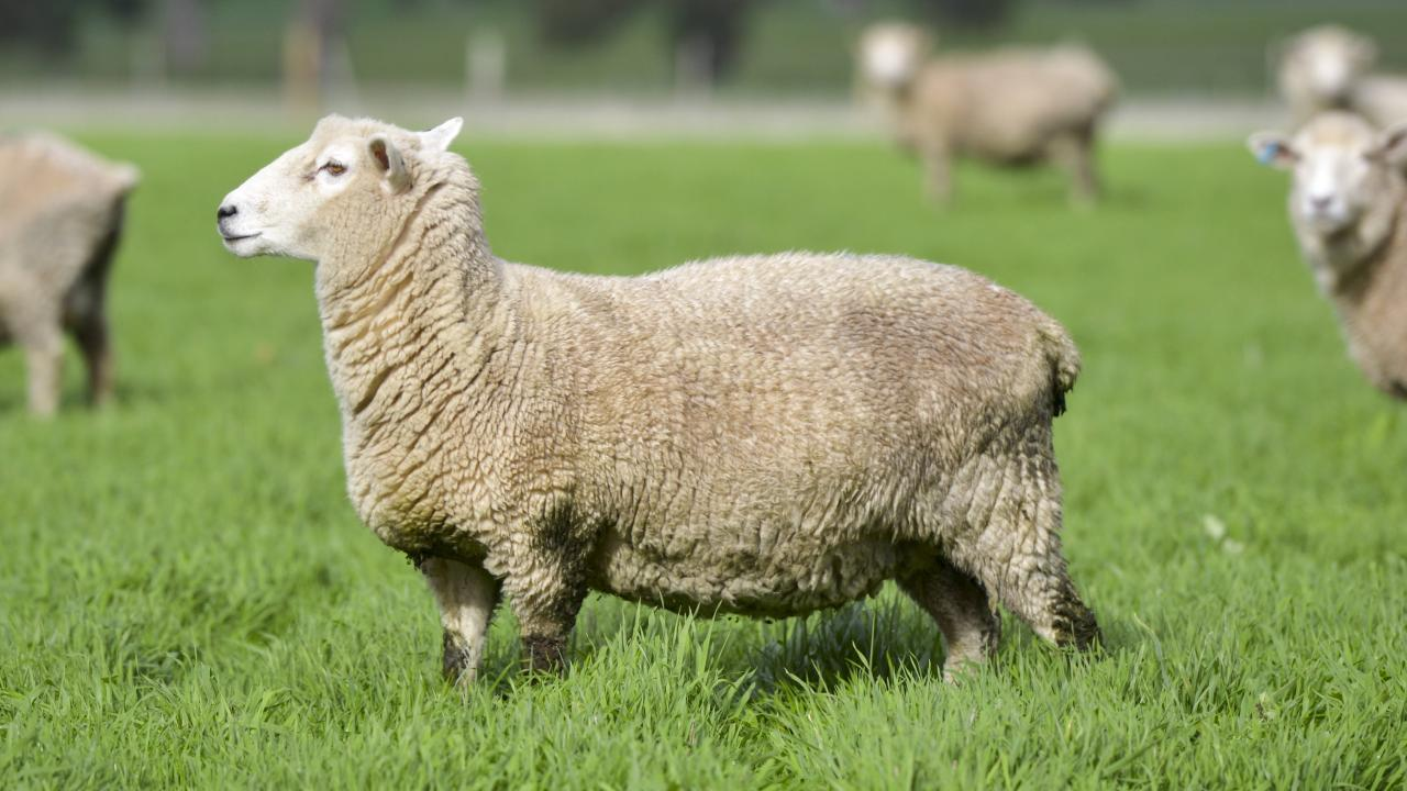 A farm manager used dental floss to sew wounds on ewes under they underwent caesarean sections.