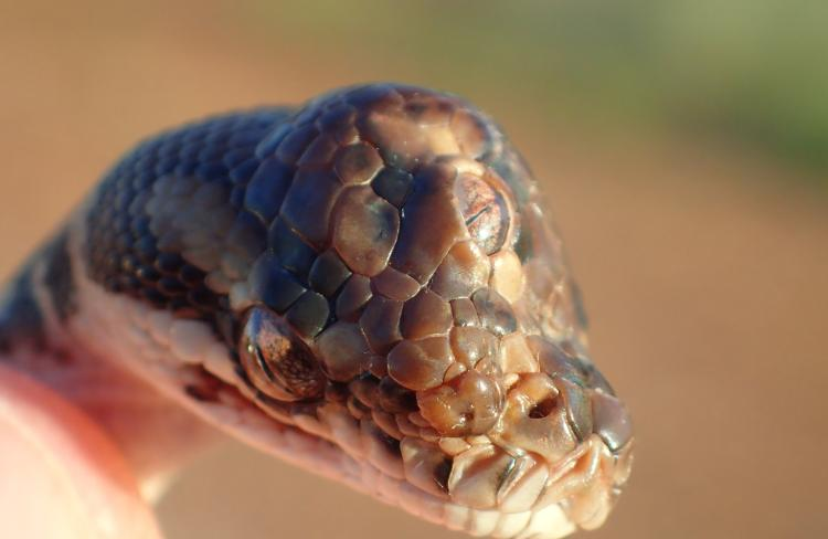 A three eyed snake found on the Arnhem Highway near Humpty Doo. Picture: NT Parks and Wildlife