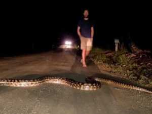 Australia's longest snake blocks road