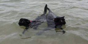 Swimming cats