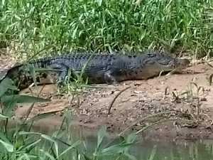 Concerns raised over 'escapee' croc