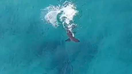 The shark was feeding just metres off Bondi Beach.