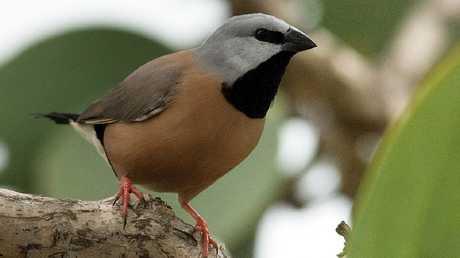 Australia Rejects Adani's Plan On Endangered Bird, Delaying Mine Project