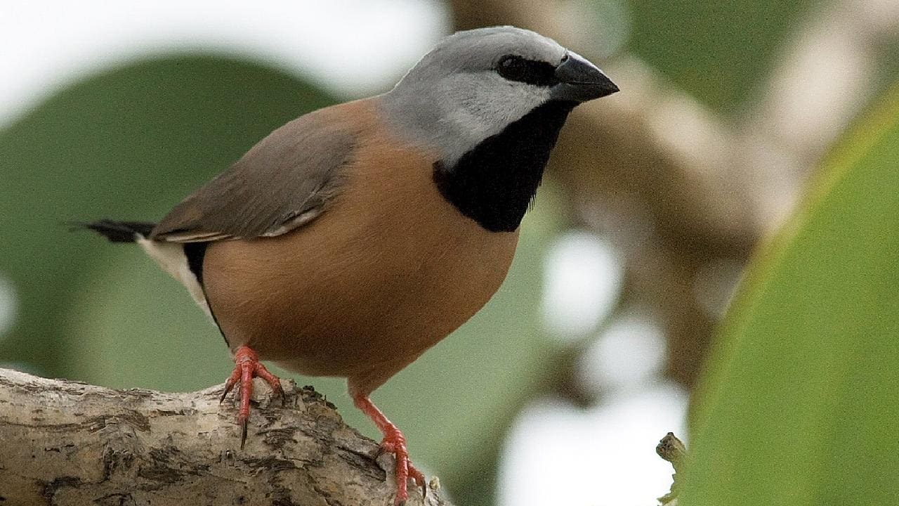 A southern black-throated finch. Picture: AAP/Birdlife Australia