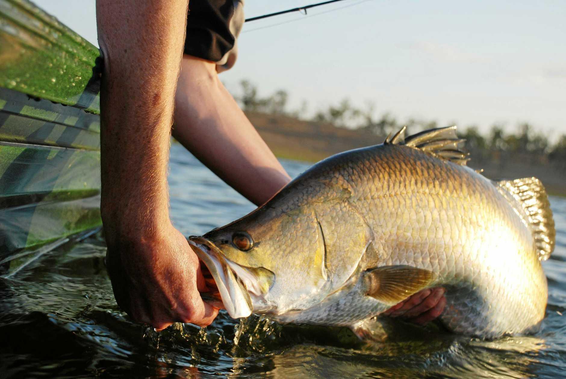 A barramundi is released in Lake Awoonga.