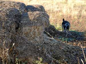 The drought is bad enough without roos eating the hay
