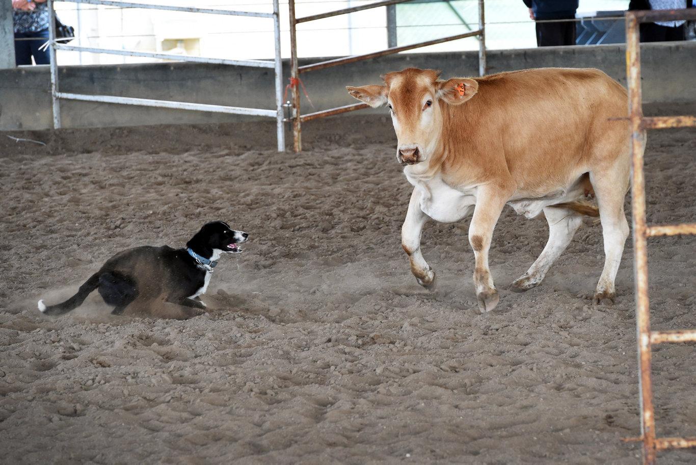 Fraser Coast Show - working dog trials - Ann Staatz with Nic the dog.
