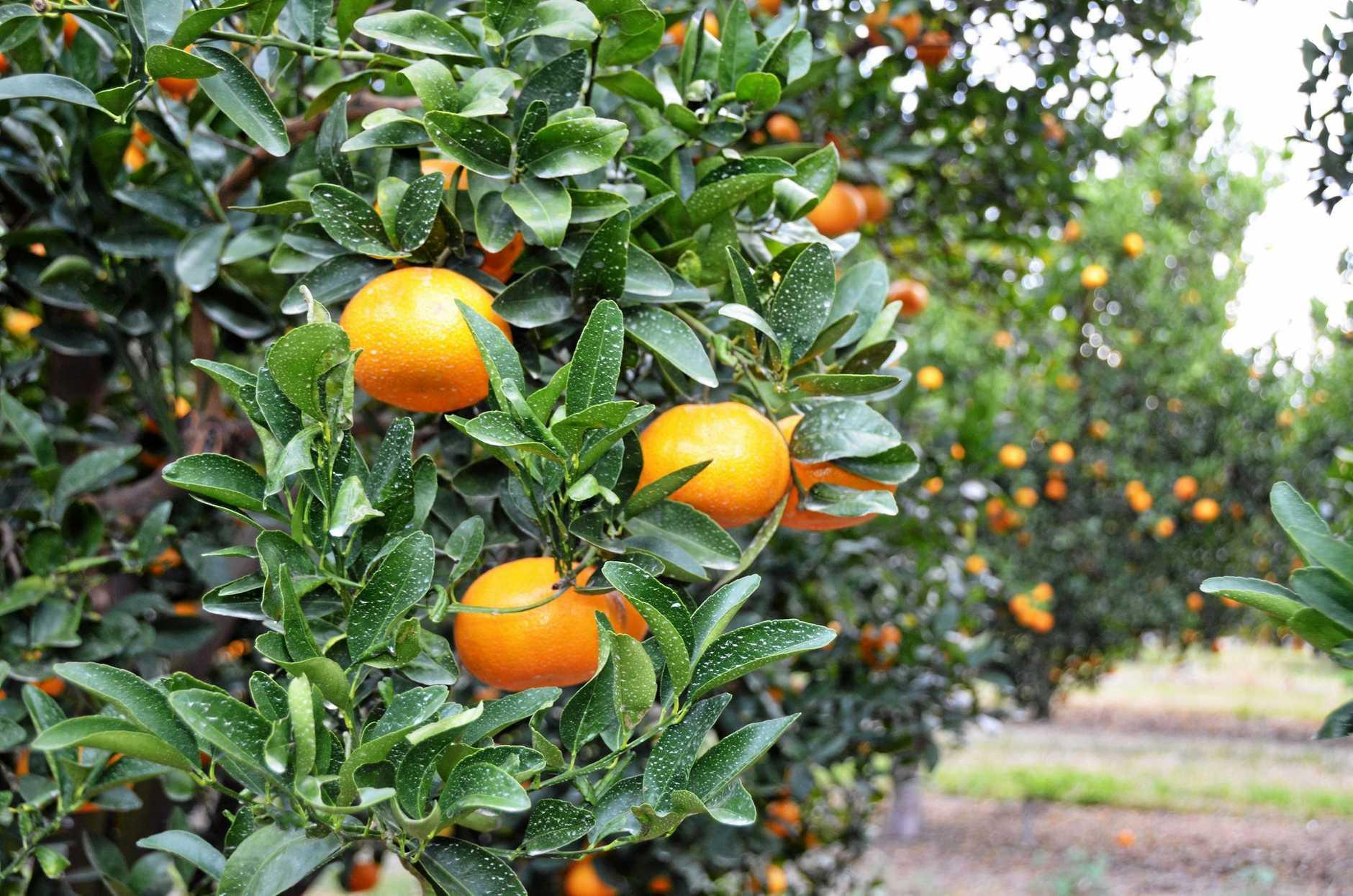 Sandbar Citrus are preparing for a busy Murcott season.