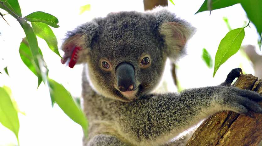 GREEN LIGHT: The koala plan of management for Kings Forest has been approved.