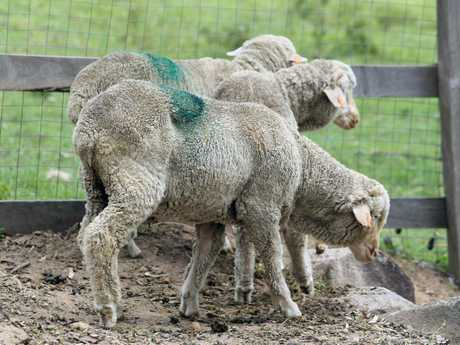 The three lambs rescued from slaughter at Carey Bros Abattoir on the Darling Downs, now living at Farm Animal Rescue in Dayboro.