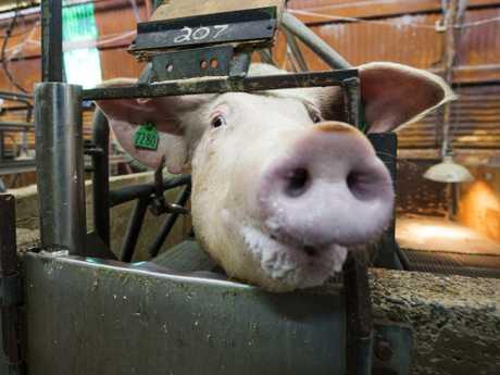 A sow inside a farrowing pen.