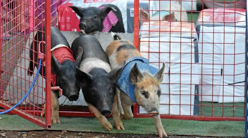 The Thoroughbred racing pigs