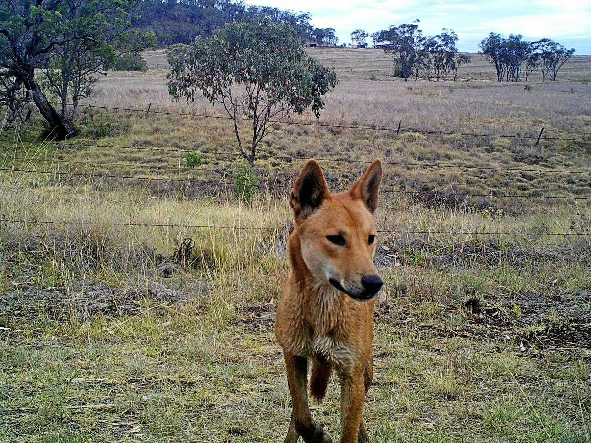 ON THE LOOSE: A wild dog captured on camera by professional feral animal killer Tony Hopkins