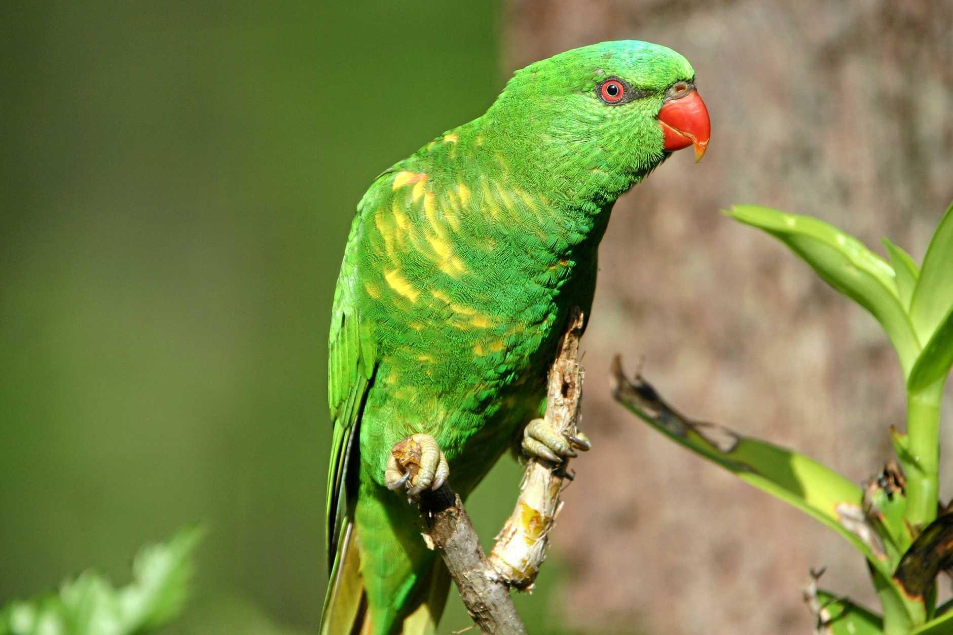 Briggsy S Birds The Rainbow Lorikeet S Quieter Cousin Queensland Times