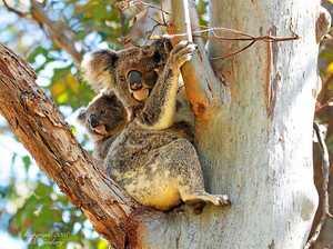 Little future for Iluka's koalas