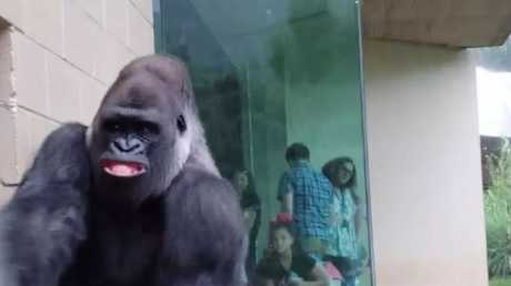 The largest gorillas pulls this relatable face as it follows the others.