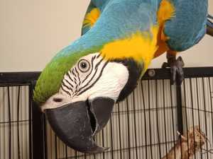 Macaw hosed down from tree during Toowoomba rescue