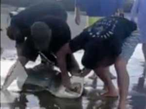 Beachgoers rescue shark with frisbee around neck at Inskip