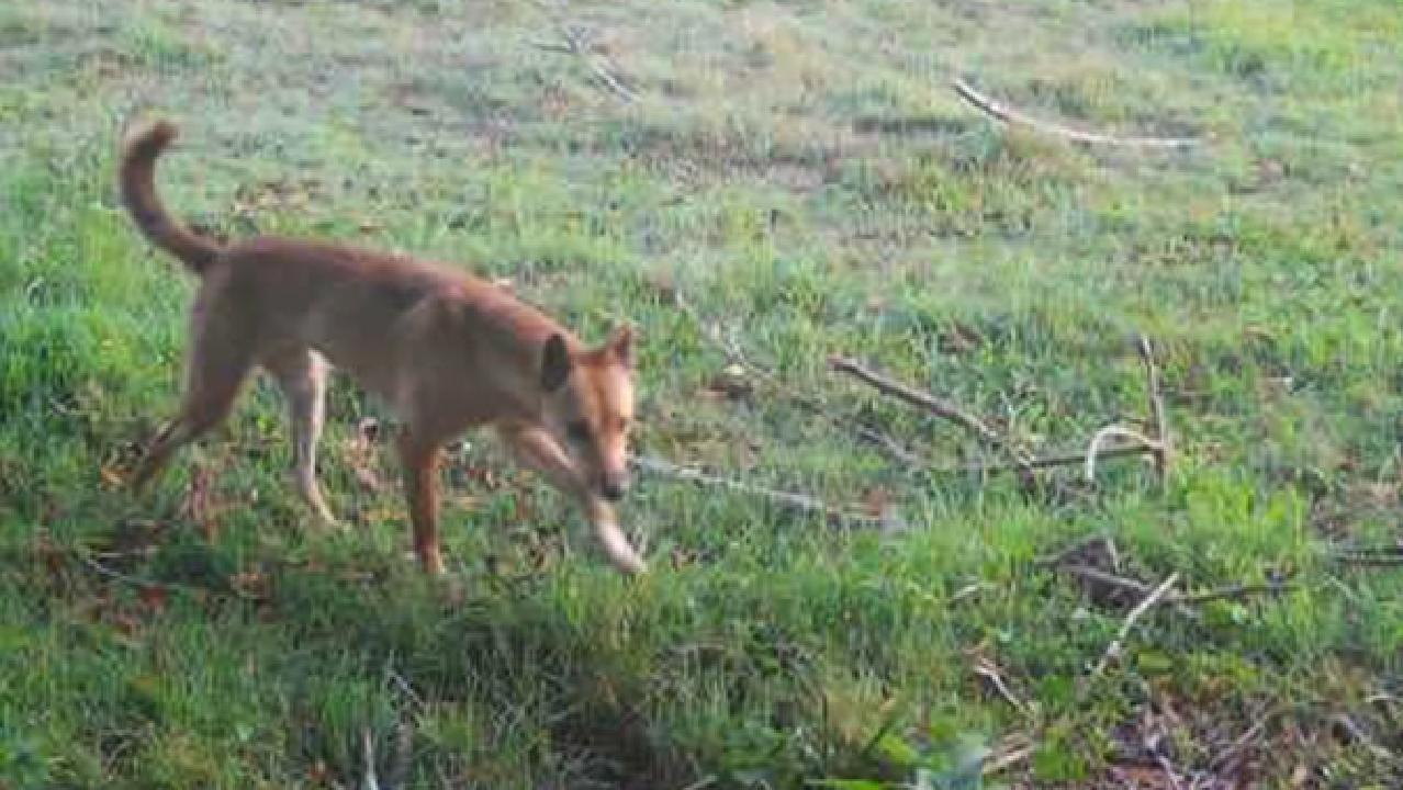 A wild dog caught on security camera footage stalking a property. Picture: Amanda Johnson