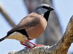 Endangered finch won't derail $1b coal mine