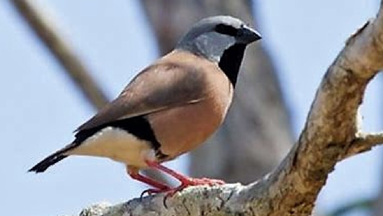 The Black Throated Finch is a serial offender when it comes to holding up major development projects