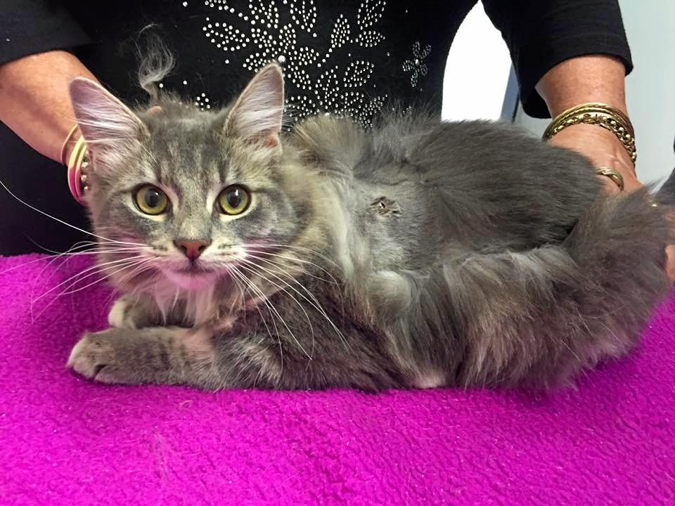 LUCKY: A kitten is recovering after being shot in Brunswick Heads.