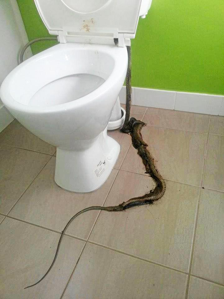 What's worse - a live snake in the loo or a dead one?