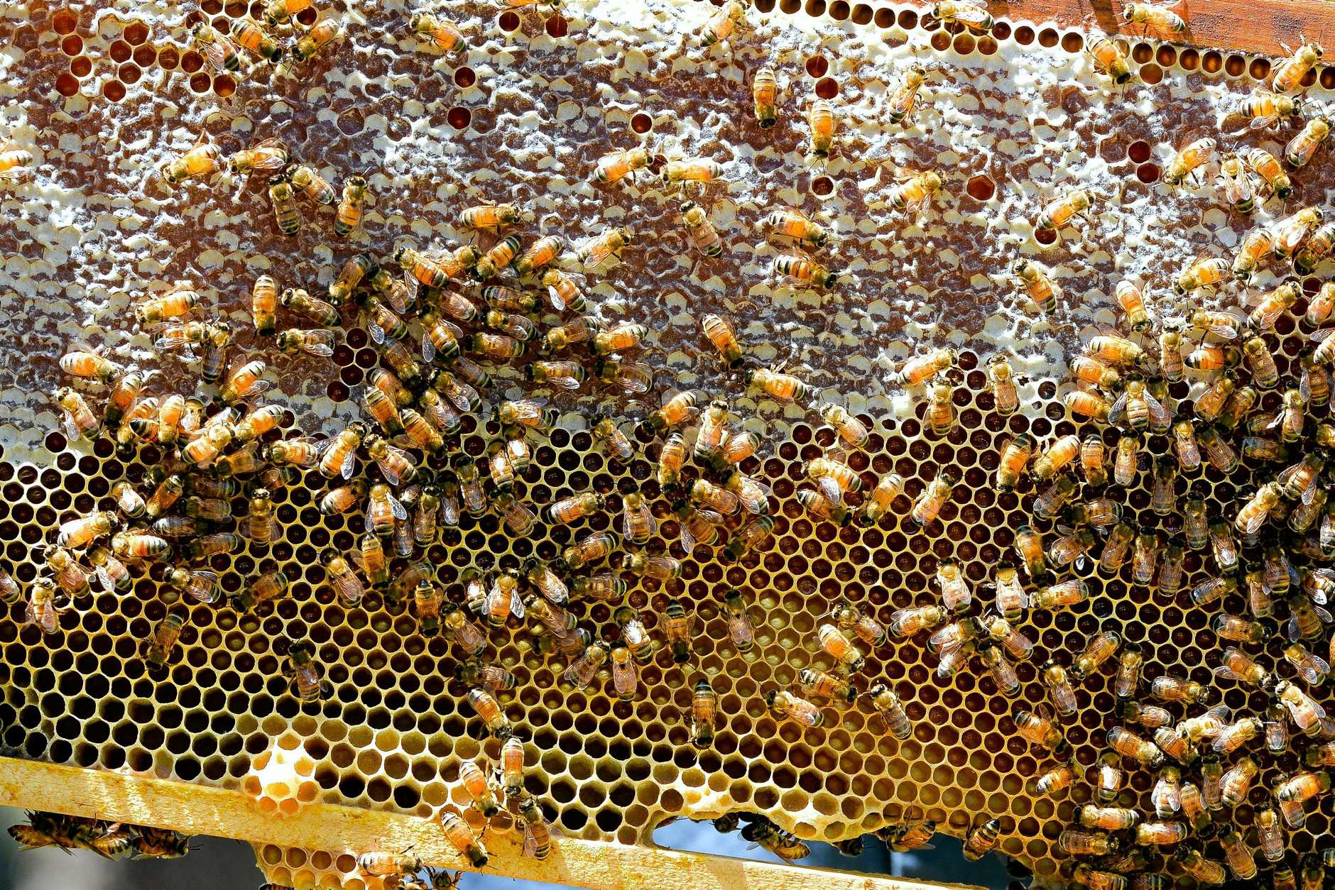 In the case of the Corindi outbreak a 'Biosecutiry Undertaking' has been entered into with the bee keeper and approximately 1500 hives destroyed.