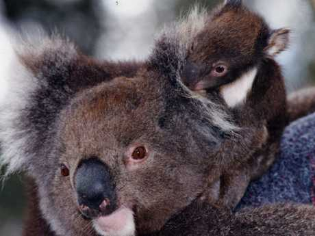 Five-month-old baby koala Clancy, 13cm long and weighing 450g, sitting on his mother, Popcorn, at Gorge Wildlife Park, Cudlee Creek. Picture: Supplied