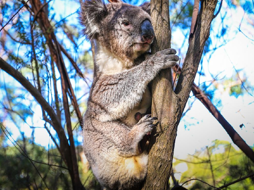 Koalas are hanging on to survival. Picture: Supplied