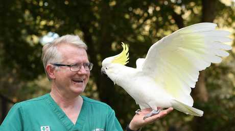Currumbin Wildlife Hospital Vet Dr Michael Pyne with one of his first patients, Gandolf the Sulphur Crested cockatoo. Picture Glenn Hampson