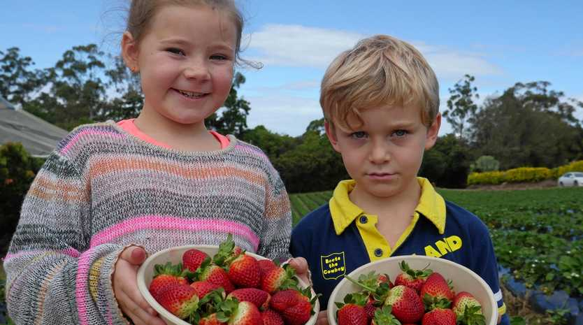 BERRY GOOD TIME: Charlotte Green with her brother William Green both with a big bowl of freshly-picked strawberries.