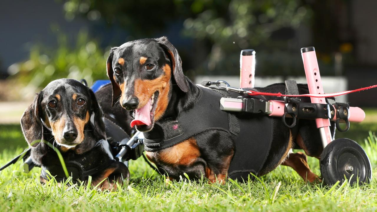 How you can adopt these sausage dogs on wheels   Queensland Times