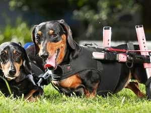 How you can adopt these sausage dogs on wheels