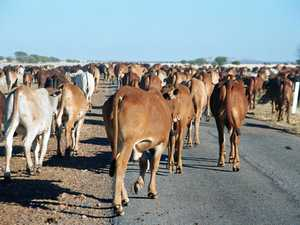 With livestock on the road, who gives way to whom?