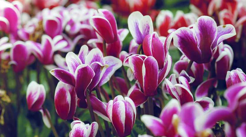 Cyclamen are one of the best plants for pots in shady areas or indoors.