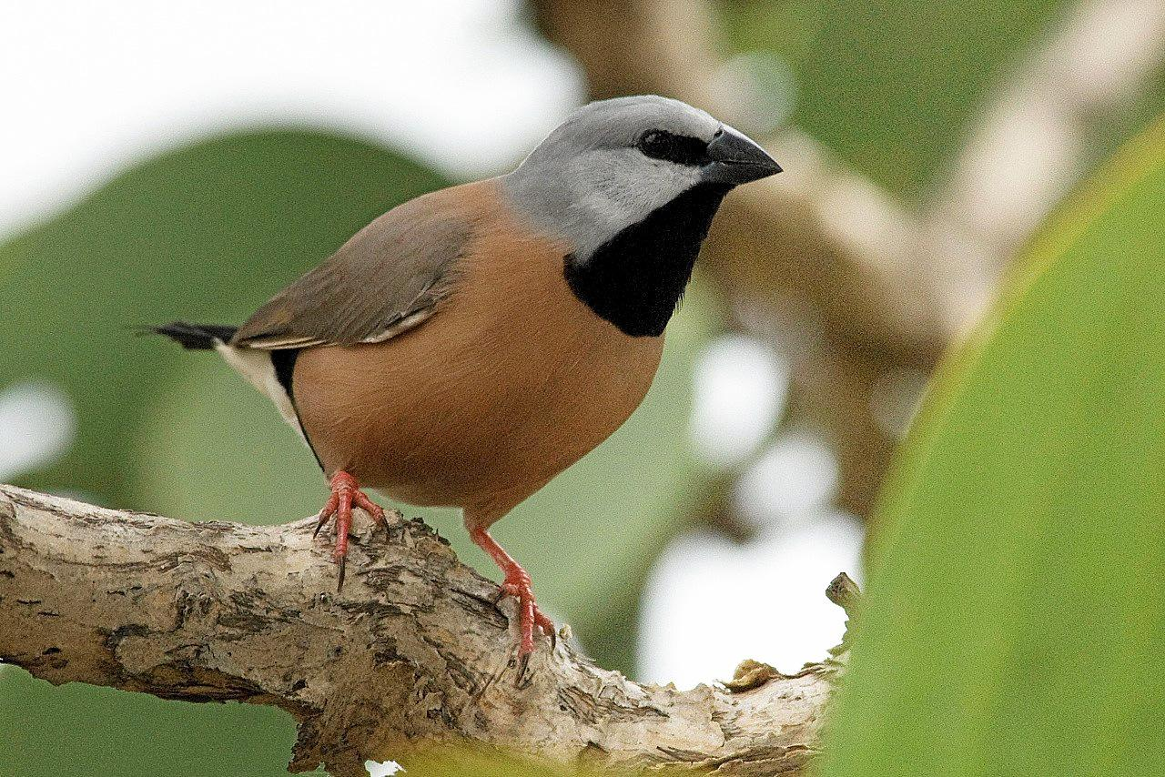 The southern black-throated finch is at the centre of the Adani debate.
