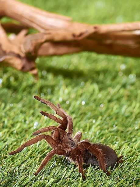 A Selenotypus Sp. Tarantula pictured at Animal & Reptile Supplies Australia. Picture: Shae Beplate.