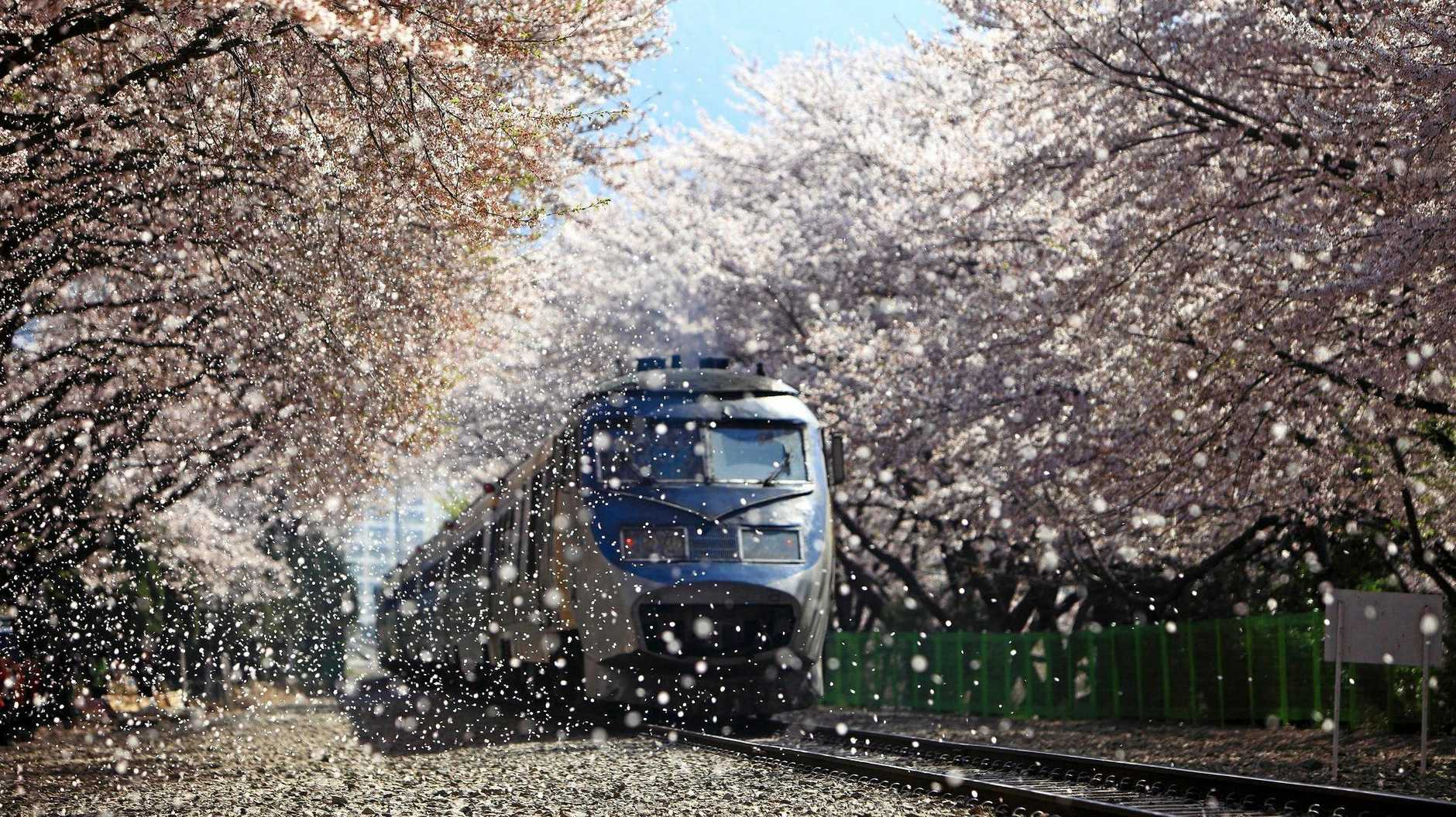 SPRING BLOOM: For just two or three weeks each year the magnificent cherry blossoms float in warm Korean breeze.
