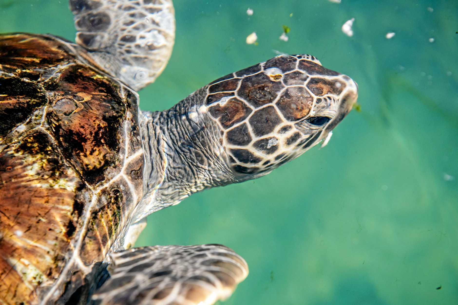 rehabilated Turtles at Dolphin Marine Conservation Park, . 22 MAY 2019