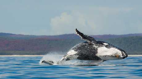 Hervey Bay has long been known as the country's unofficial whale watching capital. Picture: Supplied