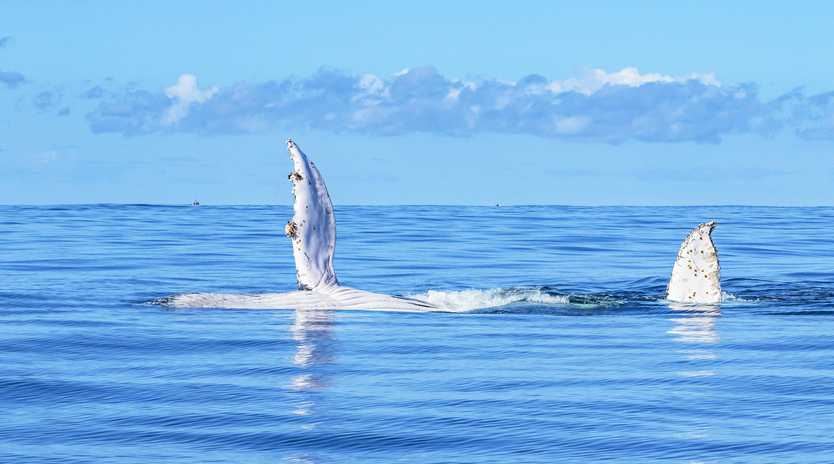 Cynthia Bodycote's shot of a passing whale giving a wave off the coast of Angourie.