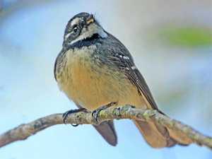 BRIGGSY'S BIRDS: Small bird with big personality