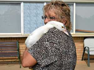 VIDEO: Gympie's star golfing duck (who thinks it's human)