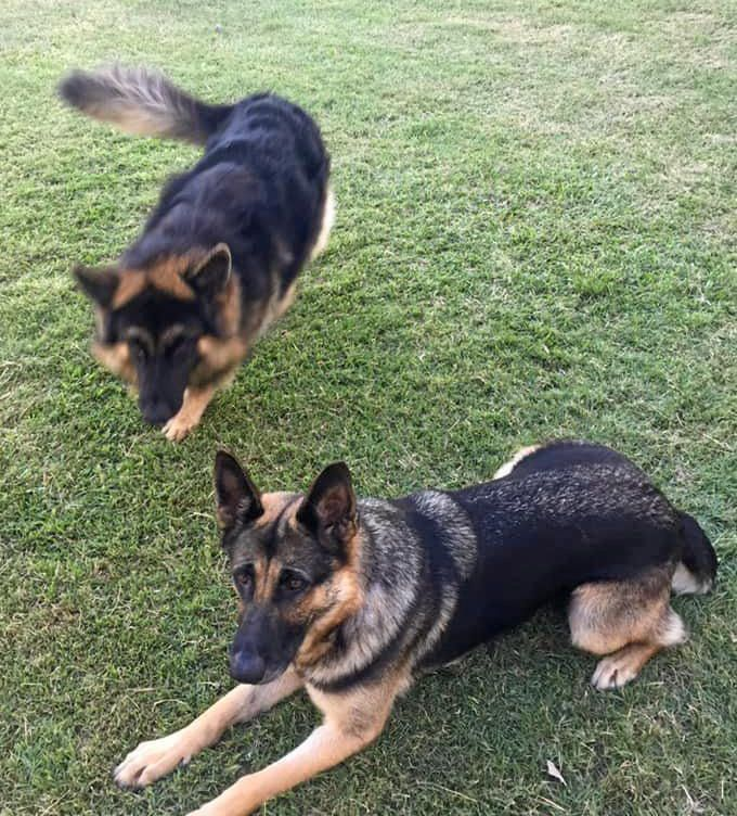 A couple is calling for public assistance after thieves made off with their car, unknowingly taking with them two beloved German Shepherds.